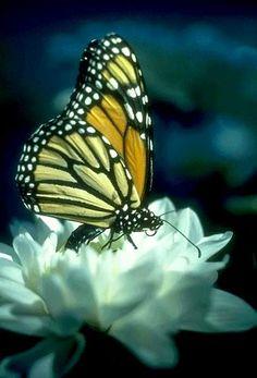 Monarch on White Flower