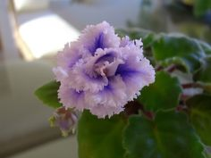 A special violet that I got from a dear friend in HK ~ Uncle Fat's 156