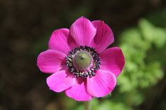 Anemone #flower #photography #pink #purple