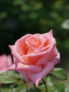 'Bonsoir' | Hybrid Tea rose