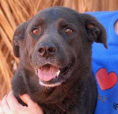 Lady loves kids and finds playing in water (pools, lakes, sprinklers) to be a great thrill!  Whether joining you in a wading pool or boating at Lake Mead, she will be smiling the whole time.  Lady is good with other dogs and housetrained too.  She is a Labrador Retriever mix, 5 years of age, spayed, and debuting for adoption today at Nevada SPCA (www.nevadaspca.org).
