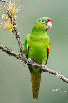 Finsch's, or Crimson-fronted, Parakeet by Luis Villablanca.