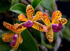 Inter-Generic Orchid-Hybrid Blc: BrassoLaelioCattleya 'Jungle Gem'