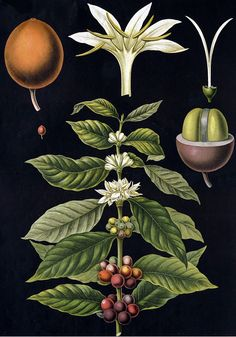 coffee-plant-coffea-arabica-black.jpg (560×800)