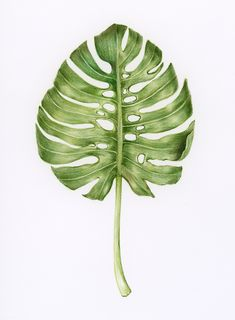 Illustration of isolated exotic leaf watercolor style | free image by rawpixel.com Outdoor Pouf, Leaf Illustration, Botanical Drawings, Colorful Drawings, Tropical Leaves, Free Illustrations, Botany, Hand Coloring, Colored Pencils