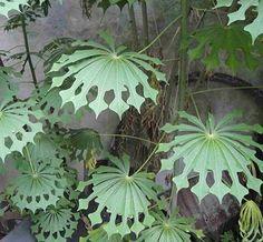 Tapioca plant.