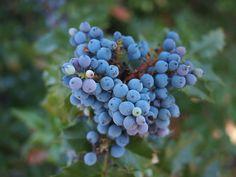 https://flic.kr/p/uQPW5n   Oregon grape