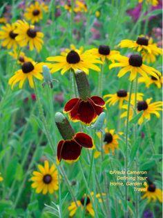 Rudbeckia hirta with Ratibida columnifera; by Freda Cameron at Defining Your Home