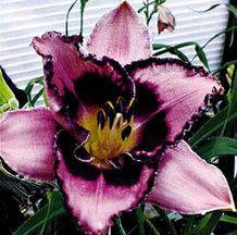 Edge of Darkness Daylily Exotic Flowers, Tropical Flowers, Summer Flowers, Beautiful Flowers, Garden Art, Garden Plants, Garden Ideas, Backyard Ideas, Daylily Garden