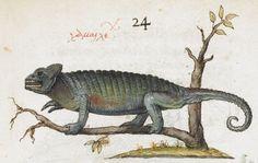 Lizard. 2nd quarter of the 16th century-3rd quarter of the 16th century Manuel Philes, De animalium proprietate British Library Burney MS 97 f24r