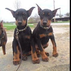 The cutest doberman puppies everrrr!!! #DobermanPinscher