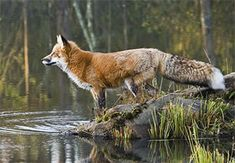 We saw a Red Fox not far from our home tonight