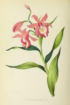 Les orchidées, Paris,J. Rothschild,1880. Orchid, Botanical illustration!
