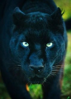 Panther, would not want to see this beautiful predator anywhere near me EVER…