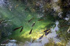 Fish in the Rio Formoso   Rhett Butler