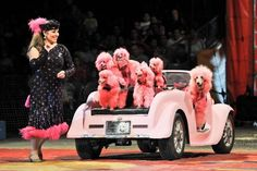 If they're Mary Kay poodles, I wonder if she won them with the car.