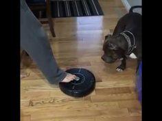 Roomba's Greatest Predator http://www.lakatate.com/index.php/latest-videos/4290-roomba-s-greatest-predator?utm_source=social&utm_medium=pin&utm_campaign=daily