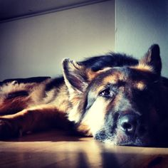 My dog, the german shepherd Tyrko