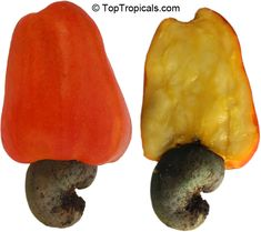 Anacardium occidentale - Cashew   Cashew nut, Cashew Apple. Small size tree that will produce fruit within 2-3 years in tropical, frost free environment. Will fruit in a pot, too.  This is not an easy plant. Do not order, if you aren't experienced plant grower.
