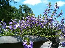 Scaevola comes in many varieties.