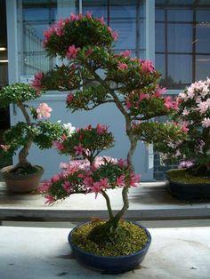 Beautiful flowering Bonsai