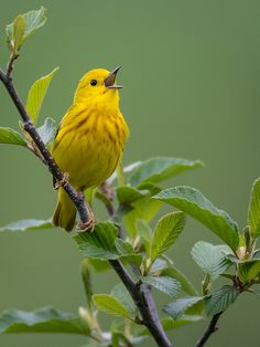Yellow Warbler ~ almost entirely yellow with a prominent black eye, nests in second growth woodlands or groves of willows, often near water.