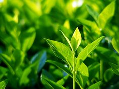 Green tea is rich in caffeine, which serves to help weight loss, but it can also be used to lower cholesterol and prevent the heart disease, and can be consumed as tea or capsules. Green tea is als…