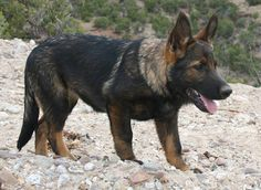 DDR German Shepherd                                                       …