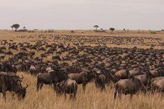 Plains Migration Maasai Mara to the Serengeti