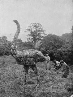 The moa were eleven species of flightless birds endemic to New Zealand ranging in size from about the height of a chicken, to the largest species which was twelve feet tall. Most, if not all, species of moa died out due to over-hunting by the Māori and habitat decline before European discovery and settlement. Could a surviving population of gigantic birds be hiding in New Zealand? Moa sightings have occurred fairly regularly in the remotest parts of New Zealand from a variety of sources.