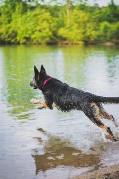 german shepherd jumping into the lake #germanshepherd