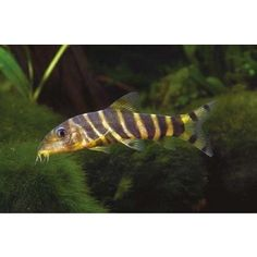 paracheirodon innesi tropical poisson d eau douce et poisson