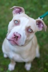 Chauncey is an adoptable Pit Bull Terrier Dog in Reisterstown, MD. Chauncey is an approx. 6 month old puppy. As you can see, he is STUNNING! He has the most amazing eyes and is just all around adorabl...