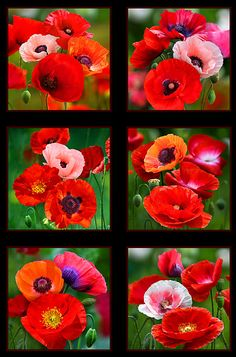"""Poppies - Garden Drama - 24"""" x 44"""" PANEL-Quilt Fabrics from www.eQuilter.com"""