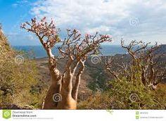 Resultado de imagem para rosa do deserto imagens