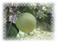 Here's a guide to choosing apple varieties for Florida, a state that is more famous for its citrus fruit. Growing Apple Trees, Apple Varieties, Fruit Trees, Fruits And Veggies, Florida, Herbs, Canning, Apples, Green