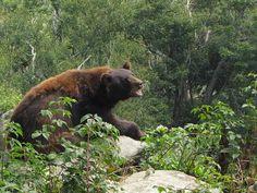 ADULT MALE AMERICAN BLACK BEAR CINAMON COLORED  HIS NAME IS KODIAK