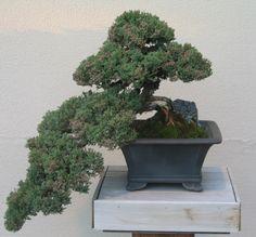 Image detail for -Archivo:Bonsai Juniperus procumbens.jpg - Wikipedia, la enciclopedia ...