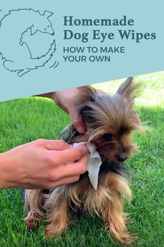 Homemade dog eye wipes are a great way to quickly clean your dog's face and eyes. They are perfect for cleaning dog eye boogers in-between baths. They help prevent tear stains and you can make them with only a few items from your home! Yorkie Puppy, Puppy Face, Yorkie Cut, Yorky Terrier, Dog Tear Stains, Maltipoo, Yorkies, Havanese Dogs, Chihuahuas