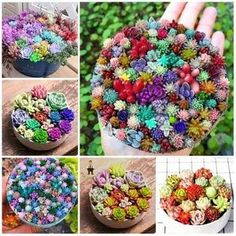 The World Is Smiling - Succulents 300 seeds - Jala