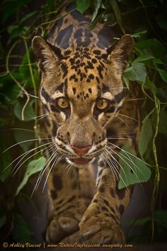 Clouded Leopard - Thailand. Wow!! <3