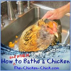 How and When to Give a Chicken a Bath I find this so cute and hilarious and odd all at the same time! I want a chicken!!