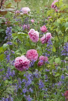 rose Gertrude Jekyll (shrub)