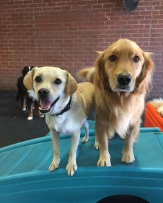 Franklin and Buffy. #gymbuddies #dogsofinstagram