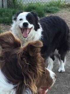 White Border Collie, Dogs, Animals, Animales, Animaux, Pet Dogs, Doggies, Animal, Animais