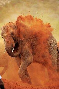 An orphaned elephant plays in the mud in Ithumba