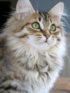 Terrific Photo Cat Breeds siberian Ideas : A number of people think that cats and kittens are simply pet cats, knowning that almost all this same. Siberian Kittens, Siberian Cats For Sale, Siberian Huskies, Cute Kittens, Pretty Cats, Beautiful Cats, Hypoallergenic Cats, Kitten Breeds, Animal Gato
