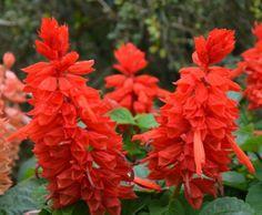 Salvia, red flower, sun, summer annual