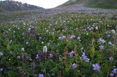 Geranium collinum, G. pseudosibircum with Phlomis pratense and Persicaria nitens - by the million.. Kyrgyz