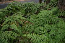 Calochlaena dubia - Wikipedia, the free encyclopedia